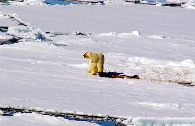 北極 白クマを見たい!