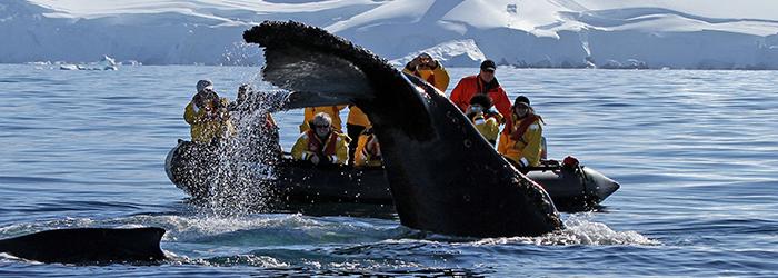 【キングペンギンとの遭遇】フォークランド(マルビナス)諸島&サウスジョージア島、南極半島 20日間