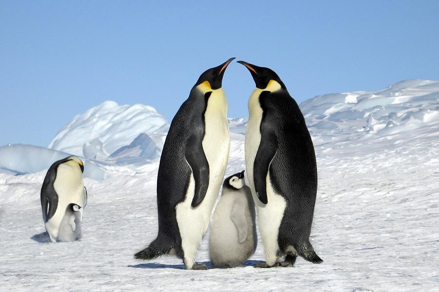 ペンギン 皇帝